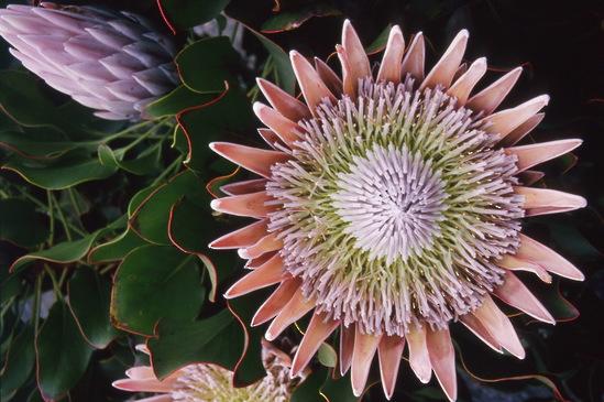 Protea cynaroides King Protea