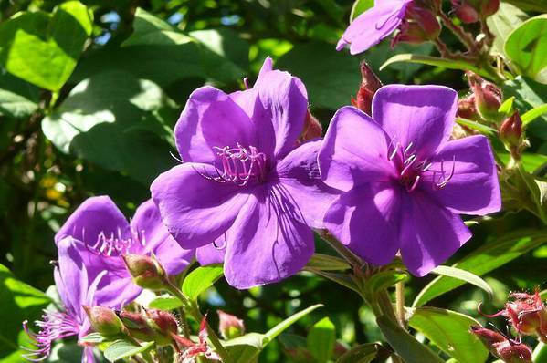 Tibouchina urvilliana Edwardsii