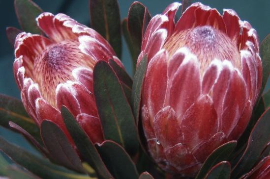 Protea hybrid cultivar Pink Ice