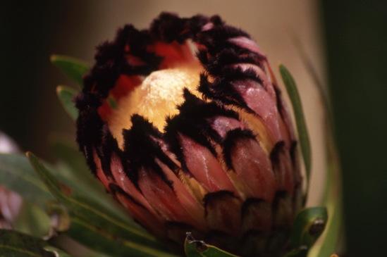 Protea nerifolia