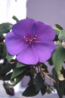 Tibouchina macrantha - Lasiandra