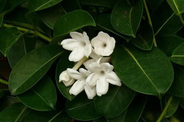 Stephanotis - Madagascan Jasmine