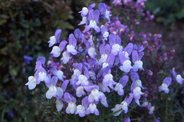 Linaria vulgaris - \'Lavender Lace\' - Toad Flax
