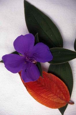 Tibouchina macrantha - Glory Bush - Lasiandra & leaf