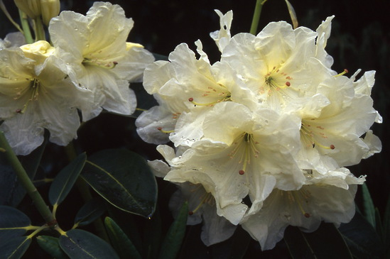 Rhododendron Lemon Lodge seedling