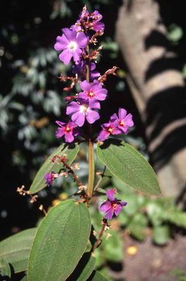 Tibouchina granulosa Glory Bush - Princess Flower