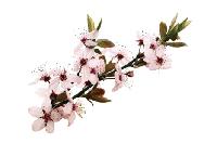 Manuka-bush, flowers of Manuka