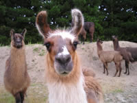 Llamas from Briar Patch
