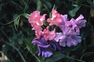 Lathyrus - The Beautiful Sweetpea