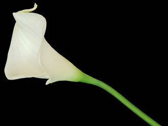 Calla Lily - Soft Touch