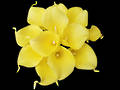 Calla Lily - Tropical Yellow Posy