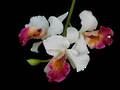 Cattleya Orchid – Fuchsia & White