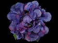 Hydrangea – Dark Royal Blue