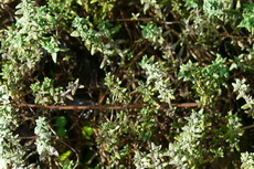 herbs 01a-230x153