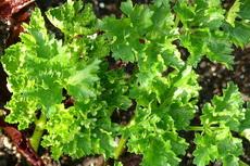 herbs 03a-230x153