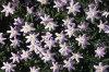 anemone-nemorosa 01-100x66