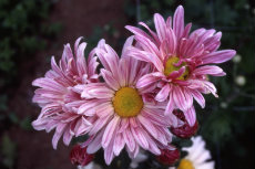 chrysanthemum 059-230x153
