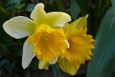 daffodil 24-230x153