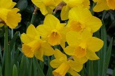 narcissus daffodil 17-230x153