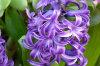 hyacinth 03-100x66