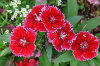 Sweet William 01-100x66