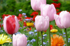 tulip 25-230x153