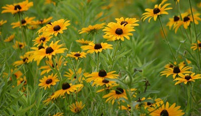 rudbeckia flower seeds