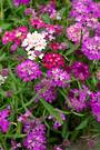 Candytuft Flash mixed
