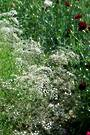 Gypsophila Virgo