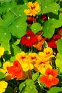 Nasturtium Top Flowering Mixed