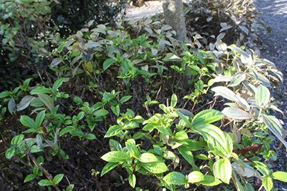 pruned viburnum