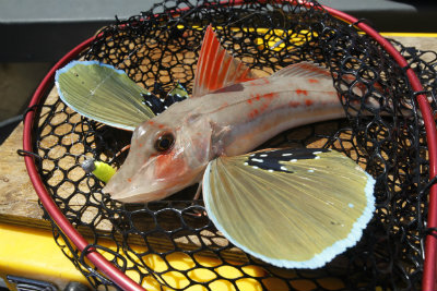 Gurnard Jan 2014 400